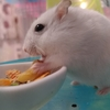 お食事中の無防備なハムスターは超カワイイです!!