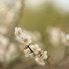 神代植物公園の梅まつり