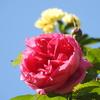 パレードもぽつりぽつりと開花!今年は肥料を沢山施したから期待してるんだあ!!(*^_^*)