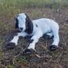 子ヤギが産まれました!!! メェーメェー毎日うるさいです。