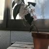 注意!桜盆栽が咲かないこんな理由と管理の仕方