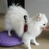 愛犬の後ろ足を鍛えよう!