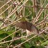巣から飛び立つオオヨシキリ