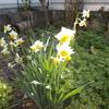 満開水仙の庭