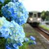 明知鉄道と紫陽花
