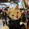 カオマンガイ屋さんの猫@プロンポン, バンコク