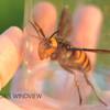 オオスズメバチの女王蜂 (Japanese Giant Hornet Queen)