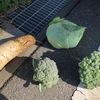 ブロッコリーの収穫適期がすぎました