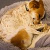犬が寝ているときにひっくひっくと身体を震わせるのは何か。