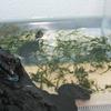 トウブドロガメ、子亀成長記  6