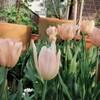 チューリップが次々に咲き出しました