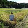 古代米 稲刈り開始