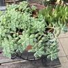 ダイソーで購入した多肉植物(セダム・エケベリア)をきっかけにはまった寄せ植え