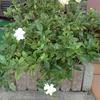 今季二度目の「くちなしの花」が咲き出したよ!でも、花付きが悪い!