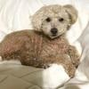 犬の毛で簡単にアレルギー検査をする方法!