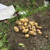 待ちに待ったジャガイモの収穫