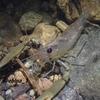 コツノテナガエビ Macrobrachium latimanus
