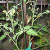 【家庭菜園】ミニトマトがなり始めました。一方、ピーマンは。