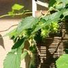 ホップ収穫