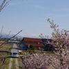 早咲きの桜が満開です(前編)