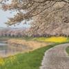 【遊】桜✕菜の花の穴場スポットアメニティパーク@下野市