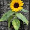 ミニヒマワリ「グッドスマイル」を小鉢で育てる