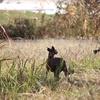 黄金色に輝くススキ、秋は犬たちにとって最高の季節。