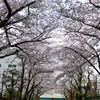 東京都タクシーメーター検査場の桜並木