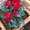 頑張る花たち!ガーデンシクラメンっていつまで咲くの?