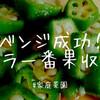【家庭菜園】植え付けリベンジ成功!!オクラの一番果、無事に収穫しましたよー!