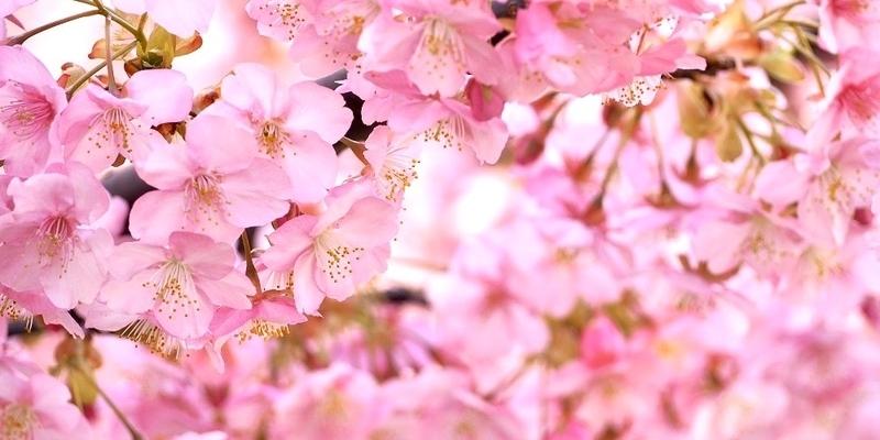 「桜だより」と「観光快適度チェック」を使って京都観光をもっと楽しもう
