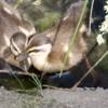 生後1週間ほどのカルガモ雛のサイズについて