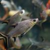 シルバーシャーク Balantiocheilos melanopterus