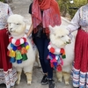 ペルー / アレキパでアルパカに会える場所【写真多め】