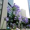 ★紫君子蘭