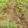【一部修正】ジャガイモ収穫第一弾