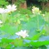 蓮池の風景②(鎌倉・鶴岡八幡宮)蓮が見ごろです(※いきものがキライな方はきもち閲覧注意?)