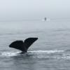 北海道 羅臼 「羅臼の宿 まるみ アルラン三世」でホエールウォッチング、マッコウクジラに遭遇!