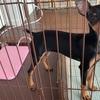マイホームで犬を飼う ミニチュアピンシャー ブラックタン