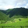 夏らしい茶畑の光景をお届け…
