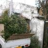 植木切断6(キンモクセイの木 粗剪定)
