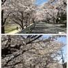 堀川桜まつり