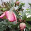 「まつこの庭」のクリスマスローズ(5)小輪花