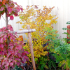 我が家の今年の紅葉は・・・