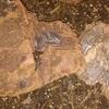 キルギスオオワラジムシ