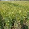無農薬「キラリモチ」もち麦 にこだわるなら「通販」が近道です