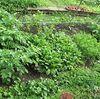 隠居の家庭菜園 実は嫁の物www