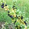 マメツゲの黒い実
