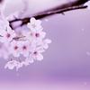 桜が散ってしまった人にも・・・
