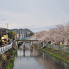 小石川の桜並木の花の下